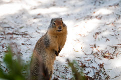 Ground squirrel standing on hindlegs Royalty Free Stock Photos