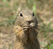 Ground Squirrel Royalty Free Stock Image