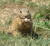 Ground Squirrel Royalty Free Stock Photo