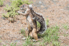 Ground squirrel standing upright Stock Photography