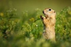 Ground squirrel standing waist-deep in the grass and holds in paws a flower.  royalty free stock images