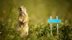 Ground squirrel standing waist-deep in the grass near a small sign. Ground squirrel standing waist-deep in the grass near a small sign with the name of the stock image