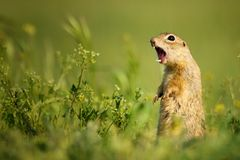 Ground squirrel standing waist-deep in the grass and shouts. Ground squirrel standing waist-deep in the grass on a beautiful background and shouts royalty free stock photos