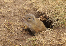 Ground Squirrel. Sticking out from the hole stock images