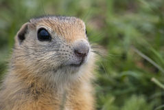Ground Squirrel in summer. The snoot of young ground squirrel clouseup stock images