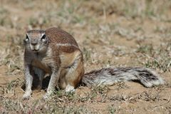 Ground Squirrel in Sun Royalty Free Stock Image