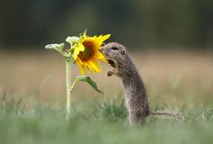 Ground squirrel and sunflower. Young ground squirrel watching at sunflower stock photos
