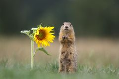 Ground squirrel by sunflower royalty free stock image