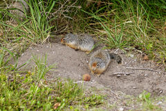 Ground Squirrel. Squirrel two chicks. Banff National Park, Canada stock image
