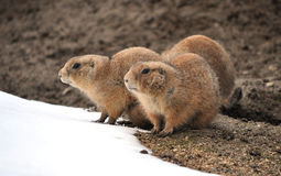 Ground Squirrel. View of the European ground squirrel Stock Images