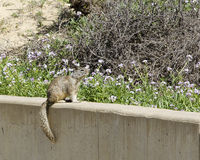 Ground Squirrel on Wall with Flowers Stock Photos