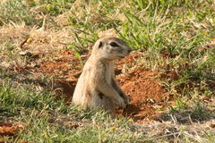 Ground Squirrel. The Squirrel was in the garden of a Caravan Park in the Kruger Nat Park Stock Photography