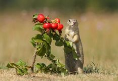 Ground squirrel and wild rose Stock Images