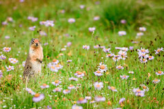 Ground Squirrel in Wildflowers Royalty Free Stock Images