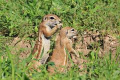 Ground Squirrel - Wildlife Background from Africa - Funny Nature Royalty Free Stock Photos