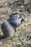 Ground squirrel. Wildlife: cute ground squirrel. Russia, Far East, Kamchatka Peninsula royalty free stock photography