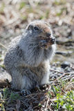 Ground squirrel. Wildlife Kamchatka Peninsula: cute ground squirrel royalty free stock images