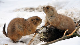 Ground Squirrel in winter Royalty Free Stock Photo