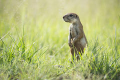 Ground squirrel (Xerus) Royalty Free Stock Images