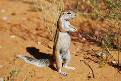 Ground Squirrel (Xerus inauris) Stock Image