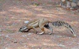 Ground Squirrel (Xerus inaurus) Royalty Free Stock Images