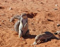 Ground Squirrel (Xerus inaurus). Ground Squirrels in the Kalahari Desert, South Africa Royalty Free Stock Photo