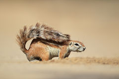 Ground squirrel Stock Photo