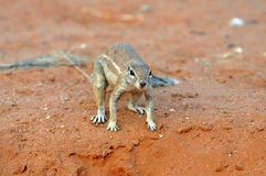 Ground Squirrel (Xerus inaurus) Stock Image