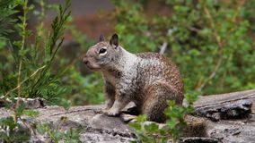 Ground squirrel yawning Stock Photography