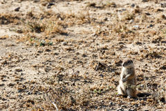 Ground Squirrel YES Sir - Mountain Zebra National Park Stock Images