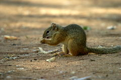 Ground Squirrel. You found these squirrels on the lawn in the rest camps and the camping area in the Kruger Park Royalty Free Stock Images