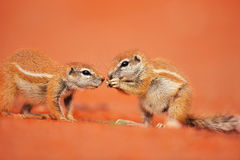 Ground squirrels. Two Ground squirrels interacting while one is eating; Xerus inaurus Royalty Free Stock Images