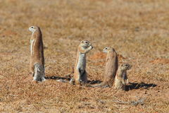 Ground Squirrels Royalty Free Stock Image