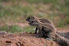 Ground squirrels. Two ground squirrels (Xerus inaurus) being cautious, Kalahari desert, South Africa Stock Photography