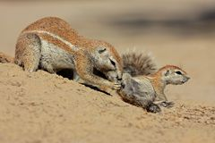 Ground squirrels Royalty Free Stock Photography