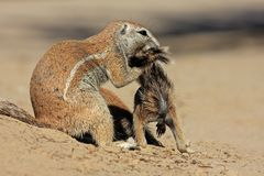 Ground squirrels Royalty Free Stock Photos