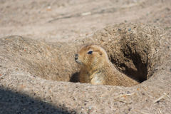 Ground squirrels also known as Spermophilus looking from its hole stock image