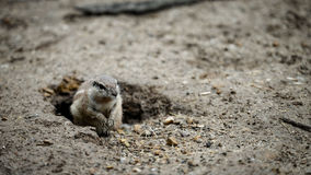 Ground squirrels. Royalty Free Stock Images