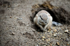 Ground squirrels. Stock Photography