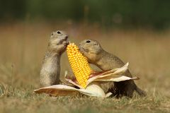 Ground squirrels with corn Royalty Free Stock Images