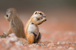 Ground squirrels eating royalty free stock images