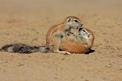 Ground squirrels, Kalahari desert, South Africa. Two young ground squirrels (Xerus inaurus) playing, Kalahari desert, South Africa Royalty Free Stock Image