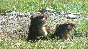 Ground squirrels looks around stock video