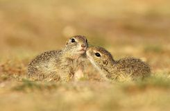 Ground squirrels in love Stock Photography