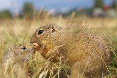 Ground Squirrels - Mather and Baby Royalty Free Stock Images