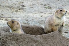 Two ground squirrels looking out of their burrow royalty free stock photos
