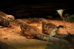Ground Squirrels. Three ground squirrels outside of their burrow stock photo