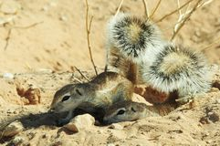 Ground Squirrels shelter under the shade from their tails, Kgalagadi Transfrontier National Park , South Africa Royalty Free Stock Photos