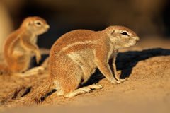 Ground squirrels Stock Photo