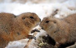 Ground. View on European ground squirrel in winter Royalty Free Stock Photos